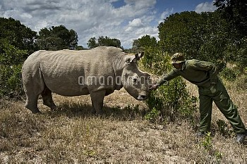 Northern white rhinoceros / rhino (Ceratotherium simum cottoni) Being checked by game ranger after i
