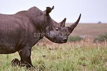 キタシロサイ(シロサイの亜種)の横顔 〔Ceratotherium,simum,Northern,rhinoceros,ニコン,white,cottoni〕 Extremely rare pictur