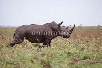 キタシロサイ(シロサイの亜種) 〔Ceratotherium,simum,Northern,rhinoceros,ニコン,white,cottoni〕 Extremely rare picture t