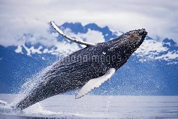 ザトウクジラ ジャンプ(ブリーチング) 〔Megaptera,novaeangliae,Whale,Humpback〕 KM-2098. Humpback Whale (Megaptera novae
