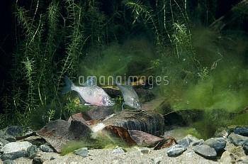 ゼニタナゴの産卵 [typus,Acheilognathus]