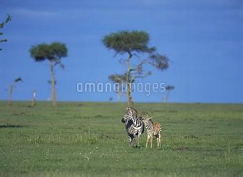 サバンナシマウマ(グラントシマウマ)の 親子 [burchelli,Equus,Common,boehmi,Grants,Zebra,Equus_burchelli_boehmi]