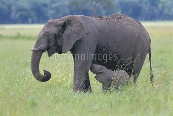 子に授乳するアフリカゾウの母親 [africana,Loxodonta,African,Elephant]