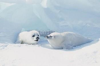 タテゴトアザラシ [groenlandica,Phoca,Seal,Harp]