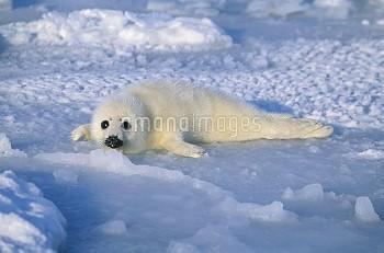 タテゴトアザラシの子 [groenlandica,Phoca,Seal,Harp]