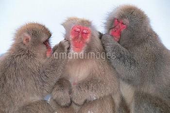 毛づくろいし合う3頭のニホンザル [fuscata,Macaca,macaque,Monkey,Japanese]