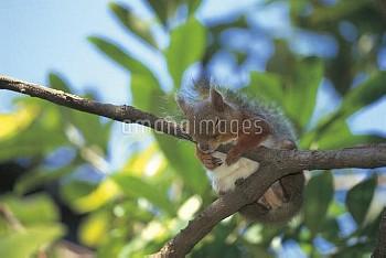 枝の上で眠るニホンリス [Squirrel,Sciurus,Japanese,Lis]