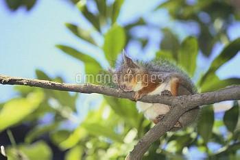 木の上でうとうとするニホンリス [Squirrel,Sciurus,Japanese,Lis]
