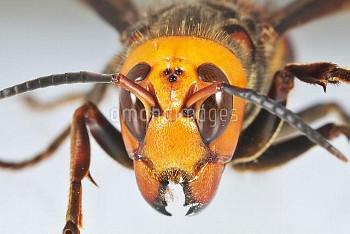 オオスズメバチの女王 顔面 (茨城県水戸市成沢町産) [Giant,japonica,mandarinia,hornet,Asian,Vespa]