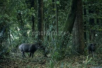 アメリカバク(ブラジルバク) 2頭 [South,Tapirus,American,terrestris,tapir,Brazillian]