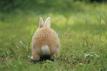 カイウサギの子供の後ろ姿 [rabbit,Oryctolagus,cuniculus,domestic,Oryctolagus_cuniculus_domestic]