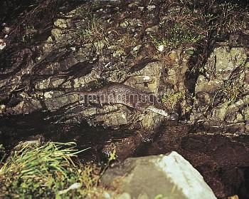 ニホンカワウソ [River,Lutra,Japanese,nippon,Otter]