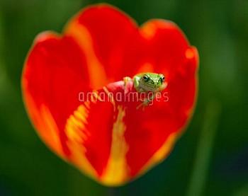ニホンアマガエル(アマガエル)とチューリップ [japonica,Frog,Tree,Tulip,gesneriana,Tulipa]