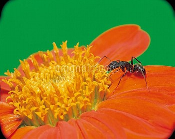 ヒャクニチソウの花に吸蜜に訪れたクロオオアリ [japonicus,Camponotus,BLACK,Ant,Carpenter]
