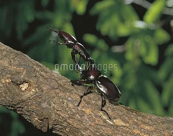 カブトムシとノコギリクワガタの闘い [inclinatus,Prosopocoilus,horned,rhinoceros,dichotomus,Trypoxylus,Japanese,Beetle,