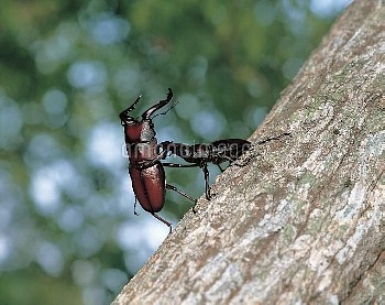 ノコギリクワガタのケンカ [inclinatus,Prosopocoilus,Beetle,Stag,Saw,Prosopocoilus_inclinatus_inclinatus]