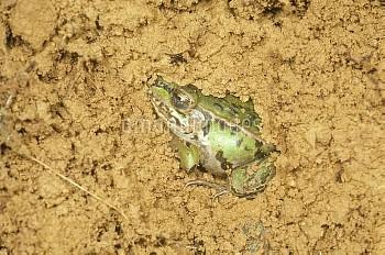 トノサマガエルの越冬 [Frog,Rana,nigromaculata,Black-spotted]