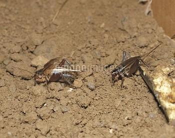 鳴いているオス(左)に近づくエンマコオロギのメス(右) [cricket,field,Teleogryllus,emma]