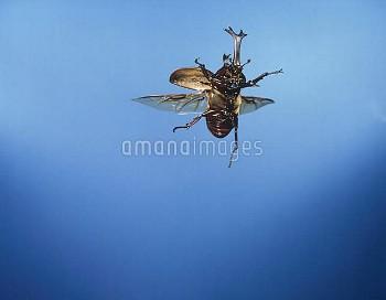 カブトムシ 飛ぶ [horned,rhinoceros,dichotomus,Trypoxylus,Japanese,Beetle]