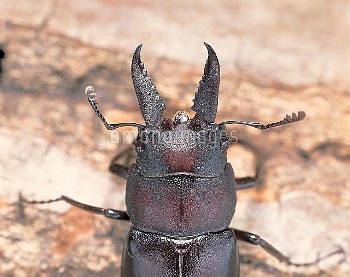 ノコギリクワガタの大アゴ (大アゴ小型) [inclinatus,Prosopocoilus,Beetle,Stag,Saw,Prosopocoilus_inclinatus_inclinatus]