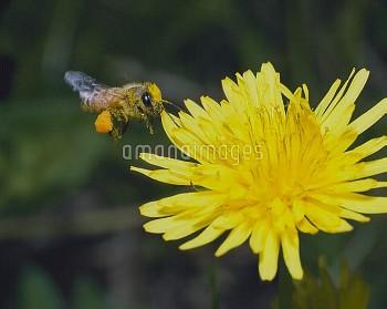 飛ぶミツバチ(セイヨウミツバチ) [mellifera,Apis,honeybee]