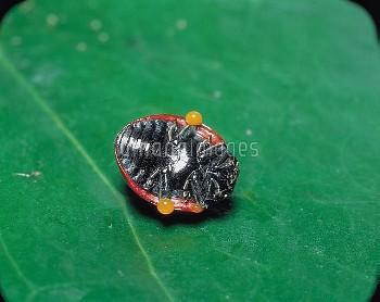 ナナホシテントウ 擬死 くさい汁を出す [Coccinella,septempunctata,Lady,Seven-spotted,Beetle,Ladybug]
