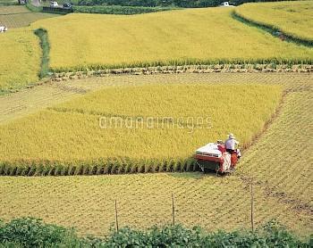秋 稲刈り [Oryza,sativa,Rice]