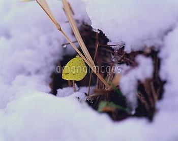 キチョウの冬越し [GRASS,Common,Yellow,Eurema,hecabe]