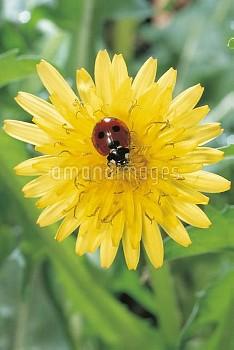 タンポポにとまるナナホシテントウ [Coccinella,septempunctata,Taraxacum,Lady,sp.,Seven-spotted,Beetle,Ladybug,Dandelio