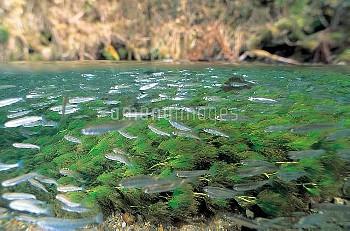 サケの稚魚の群れ:半水面 [DOG,Oncorhynchus,keta,Chum,Salmon]