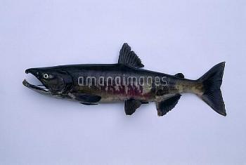サケのオス 体長69.5cm [DOG,Oncorhynchus,keta,Chum,Salmon]