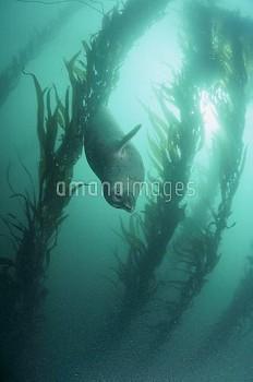 ゴマフアザラシ(陸上繁殖型) [largha,Phoca,Spotted,Seal]