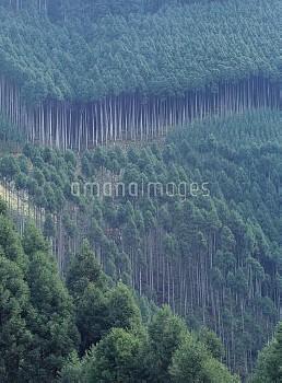 北山杉 [japonica,Cedar,Cryptomeria,Japanese]