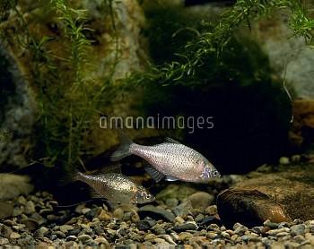 ゼニタナゴのペア [typus,Acheilognathus]