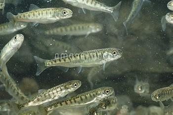 サケの稚魚の孵化後45日[DOG,Oncorhynchus,keta,Chum,Salmon]