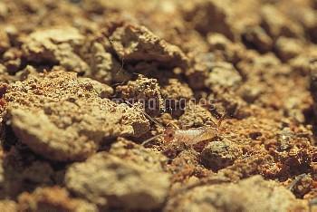 孵化直後のエンマコオロギの1齢幼虫 [cricket,field,Teleogryllus,emma]