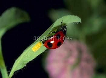 ナナホシテントウの産卵 [Coccinella,septempunctata,Lady,Seven-spotted,Beetle,Ladybug]