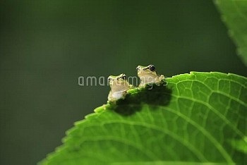 葉の上の2匹のニホンアマガエル [japonica,Frog,Tree]