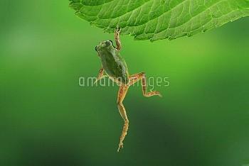 アジサイの葉につかまるニホンアマガエル(アマガエル) [japonica,Frog,Tree]