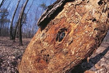 朽ち木の中のウバタマコメツキ [Cryptalaus,berus]