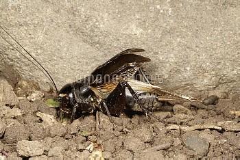 鳴くエンマコオロギ [cricket,field,Teleogryllus,emma]