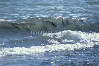 波間に見え隠れしながら遡上の時を待つサケの群れ [DOG,Oncorhynchus,keta,Chum,Salmon]