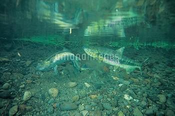 産卵床を掘るサケのメス [DOG,Oncorhynchus,keta,Chum,Salmon]