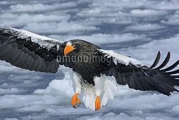 オオワシ [HaliaeetusSea?eagle,pelagicus,Stellers]