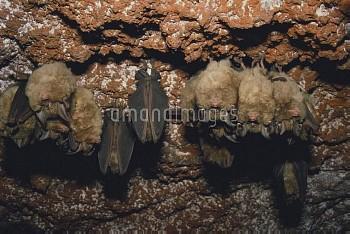 キクガシラコウモリ 集団で冬眠 [Bat,Greater,Horseshoe,Rhinolophus,ferrumequinum]