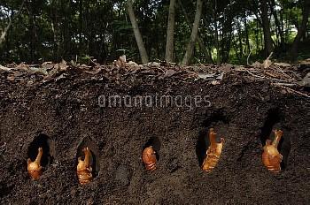 カブトムシの蛹 [horned,rhinoceros,dichotomus,Trypoxylus,Japanese,Beetle]