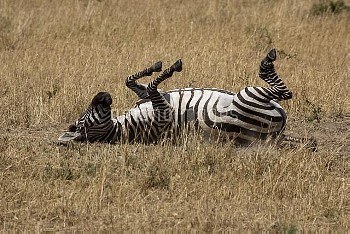 地面に背中をこすりつけるサバンナシマウマ(グラントシマウマ) [burchelli,Equus,Common,boehmi,Grants,Zebra,Equus_burchelli_boehmi]