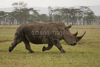 草原を走るシロサイ 3-3 [Ceratotherium,Rhino,simum,rhinoceros,white]