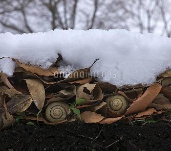 越冬中のツクシマイマイ [SNAIL,Euhadra,herklotsi]