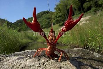 はさみを振り上げて威嚇するアメリカザリガニ [Red,American,clarkii,Procambarus,swamp,Crayfish]